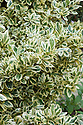 """Ilex × altaclerensis 'Golden King', mid October. """"...its broad oblong leaves are occasionally spined but overall smooth to the touch. Leaves have a hefty margin of golden yellow followed by a thin mottled irregular band of pale green then a richer, deeper centre. Some leaves are wholly yellow but don't develop. Contrary to its name, this is a female and regularly laden with berries from October that colour intense red just in time for Christmas."""" [Fergus Garrett, Great Dixter, Nurseryman's Favourites, Gardens Illustrated magazine, December 2013]"""