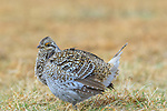 Sharp-tailed grouse on a lek in the Namekagon Barrens.