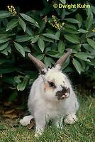 SH51-025x  Pet Rabbit - Dwarf
