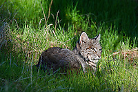 Wild Bobcat (Lynx rufus) resting in grass on hillside in oak woodlands area, Central California.  December.  (Completely wild, non-captive cat.)