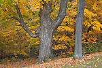 Devil's Lake State Park, WI<br /> Edge of a hardwood forest in fall color with a heavily branched maple trunk