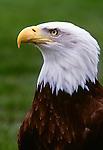 Bald eagle, Washington