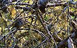 Song sparrow, Melospiza melodia, California