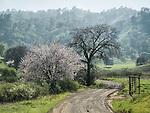 Dirt road toward Blue Ridge and almond tree in bloom, Capay Valley, Calif.