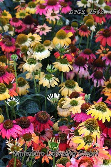 Gisela, FLOWERS, BLUMEN, FLORES, photos+++++,DTGK2542,#f#, EVERYDAY