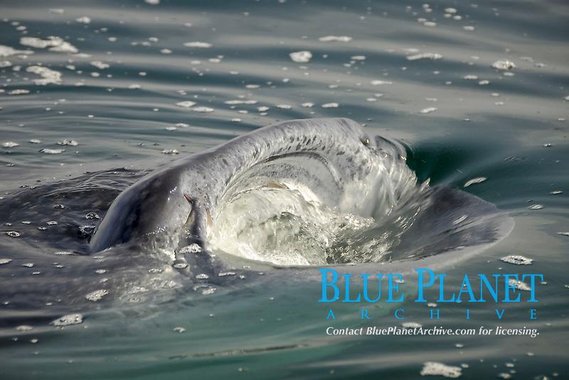 Whale shark (Rhincodon typus) feeding at surface, Holbox Mexico, Caribbean, Atlantic