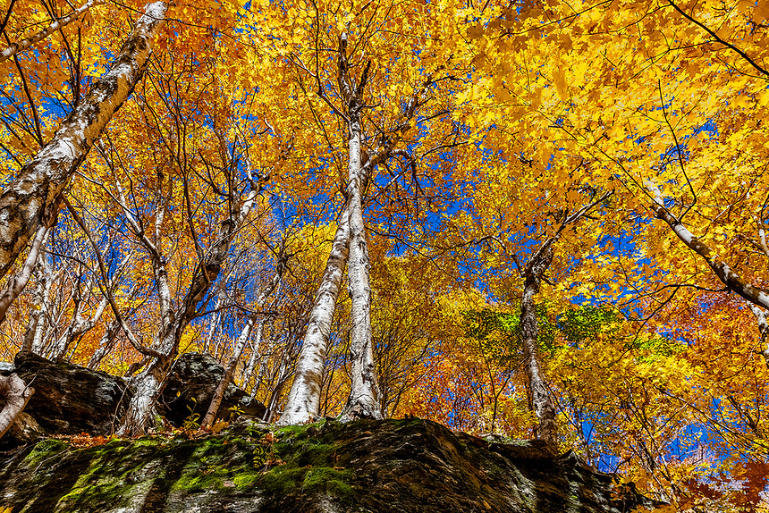 Birch trees, Smuggler's Notch, Vermont, USA.