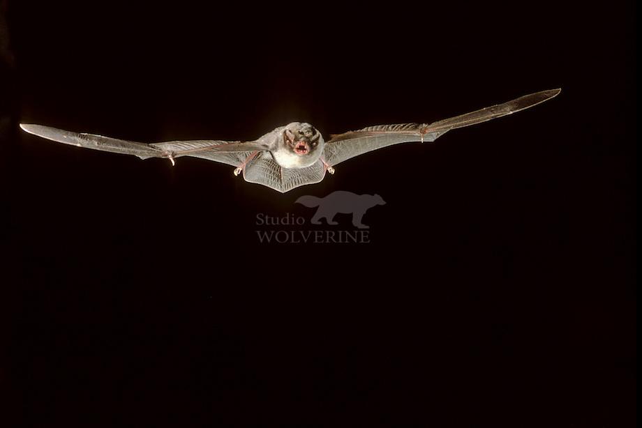 Schreibers' vleermuis (Meniopterus schreibersi) vliegend