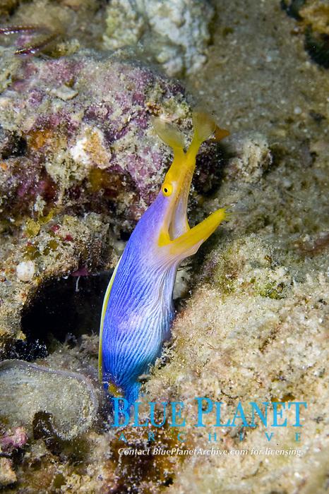 ribbon eel, Rhinomuraena quaesita, Sipadan, Borneo, Malaysia, Pacific Ocean