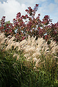 Miscanthus sinensis and Cotinus coggygria, mid September.
