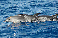 One calf (younger anilmals are less spotted) & two adult Atlantic Spotted Dolphins, Stenella frontalis, porpoising, north of Faial Island, Azores, Atlantic Ocean
