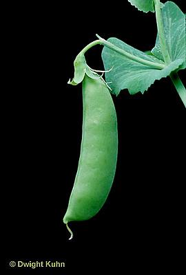 HS26-001c  Pea - pea pod - Green Arrow variety