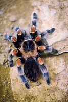 Mexican redknee tarantula (Brachypelma smithi), captive, Germany, Europe