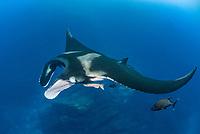 giant oceanic manta ray, Manta birostris, with remora, accompanied by black jack, Caranx lugubris, San Benedicto Island, Revillagigedo Islands, Mexico, Pacific Ocean