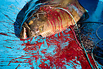 A halibut (Hippoglossus hippoglossus) lies bleeding and dead on the bottom of a fishing boat. Gulf of St. Lawrence near North Rustico, PEI, Canada.