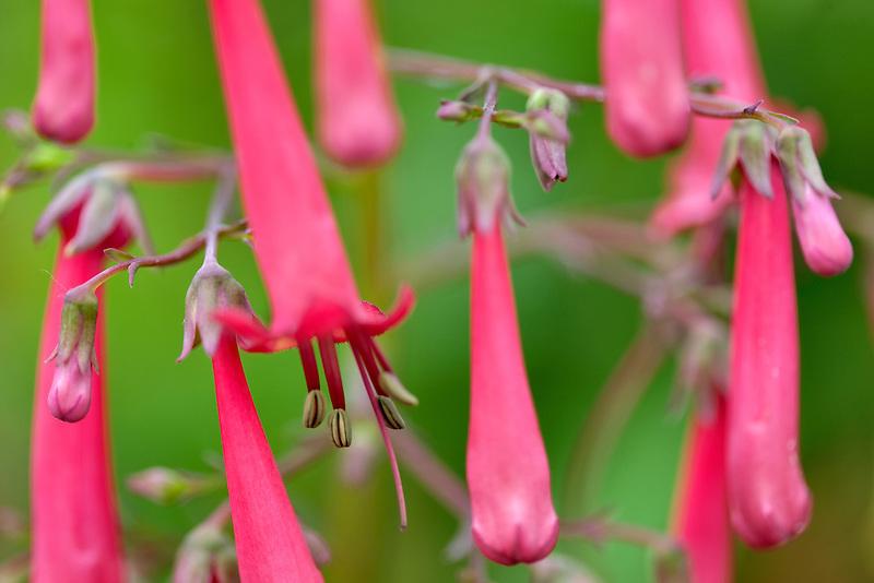Cape Fuchsia - Cherry Ripe. Al's Nursery, Oregon