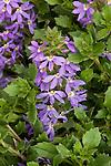 SCAVEOLA AERNULA SURDIVA BLUE, PALMFLOWER
