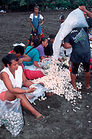 eggs of olive ridley sea turtle, Lepidochelys olivacea, are prepared and bagged for market in legal, controlled harvest during arribada, Ostional, Costa Rica, Pacific Ocean
