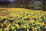 Daffodils enmasse, Farndale, Yorkshire