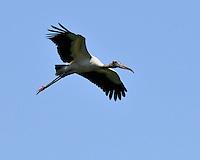 Wood Stork, Alligator Farm, St. Augustine, Florida
