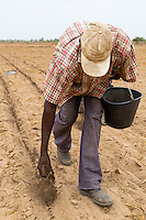 Millet Cultivation.  Spreading Compost Fertilizer by Hand, the old, back-bending, labor-intensive way.  Kaolack, Senegal. DOZENS MORE OF IMAGES RELATED TO MILLET CULTIVATION ARE AVAILABLE.  WHAT DO YOU NEED?