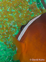 0322-1115  Tomato Clownfish Tending Eggs, Amphiprion frenatus  © David Kuhn/Dwight Kuhn Photography