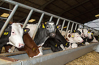Replecment dairy heifers - Lincolnshire, March