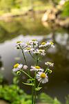 Flower by the water in Gyoen National Garden in Shinjuku, Tokyo, Japan<br /> <br /> Keywords: