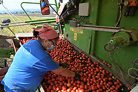 ITALY, Parma, Basilicanova, tomato contract farming for company Mutti s.p.a., harvest with Guaresi harvester, the harvested plum tomatoes are used for canned tomato, pulpo, passata and tomato concentrate / ITALIEN, Tomaten Vertragsanbau fuer Firma Mutti spa, die geernteten Flaschentomaten werden anschliessend zu Dosentomaten, Passata und Tomatenmark verarbeitet und konserviert, alles 100 Prozent Italien, Aussortierung unreifer und beschädigter Tomaten
