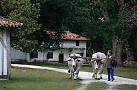 Europe/France/Aquitaine/40/Landes/Parc Naturel Régional des Landes de Gascogne/Marquèze (écomusée de la Grande Lande) /Sabres: Attelage de boeufs