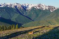 Columbian black-tailed deer (Odocoileus hemionus columbianus) doe walking through subalpine meadow covered with wildflowers onr Hurricane Ridge.  Early morning, Pacific Northwest.  Summer.  In background is the Bailey Range and Mount Olympus.