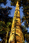 Mato Grosso State, Brazil. Tall, straight Amazon rainforest tree in golden light with climbing plants.