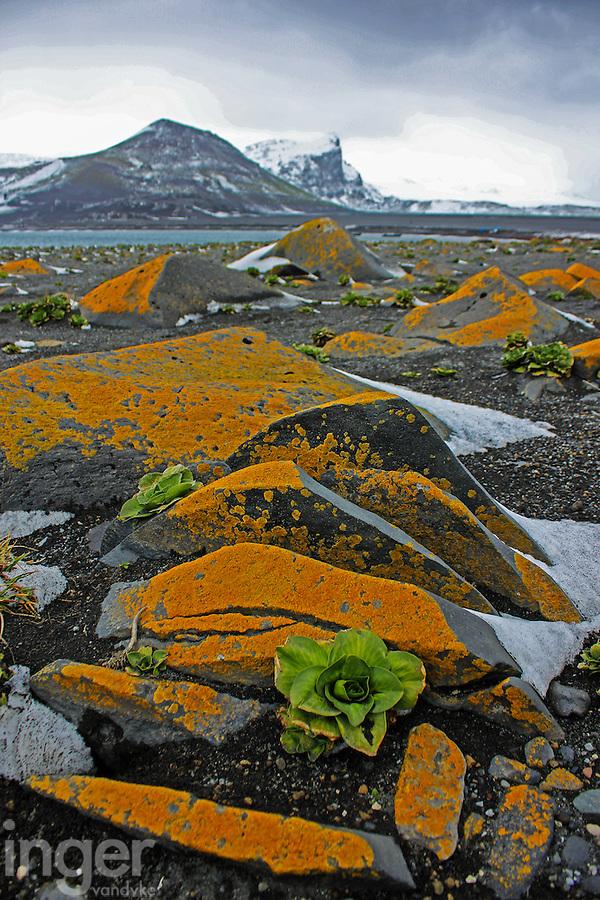 Lichens and Kerguelen Cabbage on Heard Island