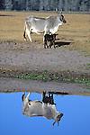 Cow & Calf