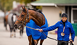 October 30, 2018 : Wild Illusion (GB), trained by Charlie Appleby, exercises in preparation for the Breeders' Cup Filly & Mare Turf, cools out at the barn at Churchill Downs on October 30, 2018 in Louisville, Kentucky. Evers/ESW/CSM