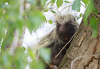 My best photo opportunity with a North American porcupine to date.  These nocturnal rodents don't like sitting out in the open during the day!