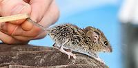2014-09-17_URBAN WILDLIFE_Don Edwards NWR Salt Marsh Harvest Mouse Survey