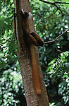 A female black lemur sits in a tree in Madagascar.