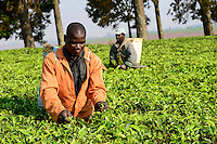 Malawi, Thyolo, Makandi Tea Estate, a fair trade tea plantation, farm worker pick tea leaves