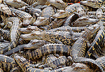 American alligators, Florida