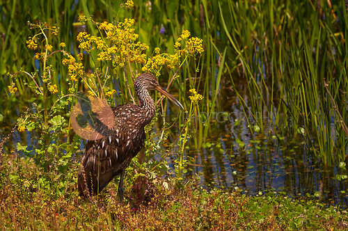 Limpkin standing in yellow flowers
