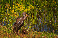 Limpkin standing by water surrounded by yellow flowers