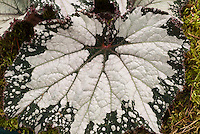 Begonia 'Westland Beauty' rex begonia with silver and green ornamental foliage