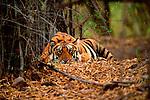 A bengal tiger rests under the shade of bamboo in Bandhavgarh National Park, Madhya Pradesh, India.