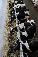 GERMANY, modern milk cow stable / DEUTSCHLAND Koloniehof in Rickling , moderner heller Stall mit Milchkuehen , Milchviehhaltung