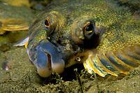 Rock sole, Pleuronectes bilineatus, Kodiak Island, Alaska, Pacific Ocean