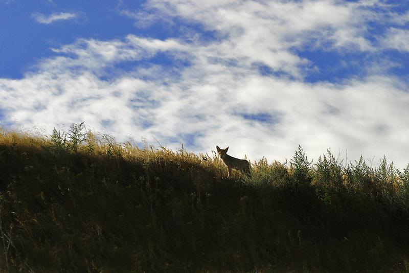 Coyote, Palouse, Washington