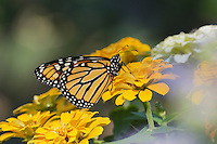 Monarch (Danaus plexippus), adult feeding on Zinnia flower, Hill Country, Texas, USA