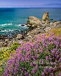 Silver Lupine, Turtle Rock, Coast Trail, Golden Gate National Recreation Area, Marin County, California