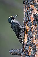 Male Black-backed Woodpecker (Picoides arcticus). Gifford -Pinchot National Forest, Washington. May.
